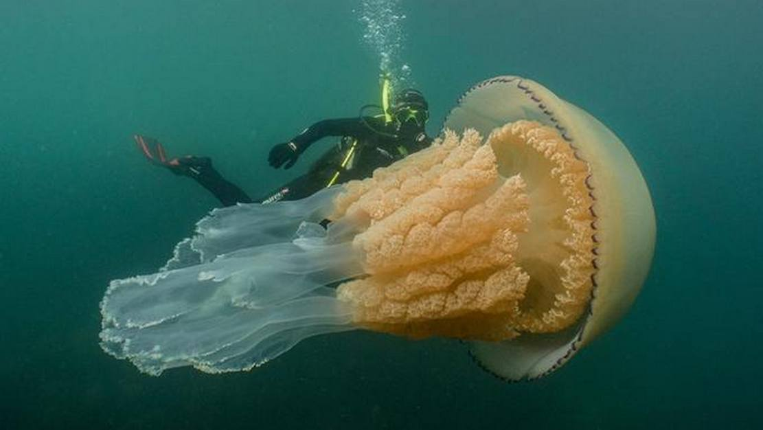 The largest Jellyfish ever found in British waters