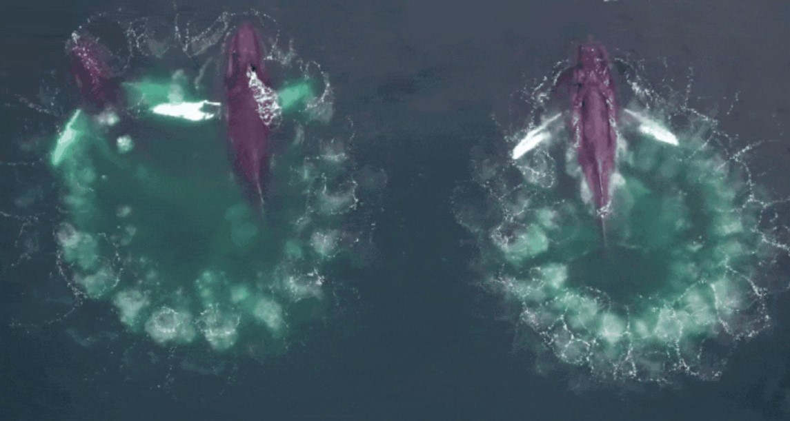 Rare footage shows Whales Using Bubble 'Nets' to Hunt