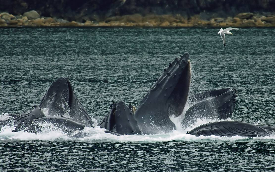 Whales could be 'Nature's Solution to Climate Change'