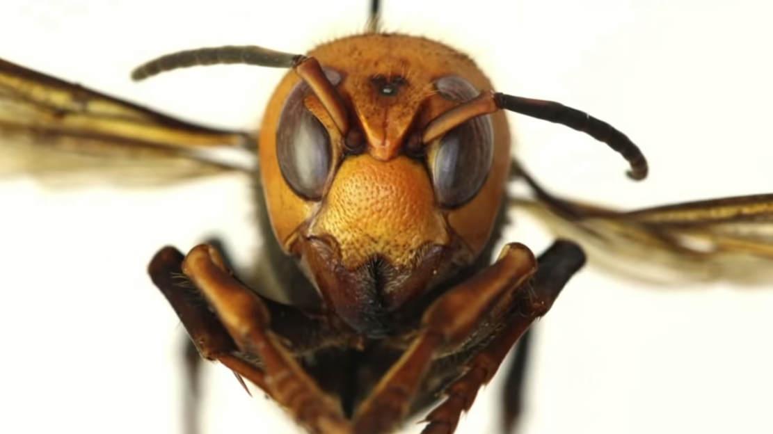Giant 'Murder Hornets'