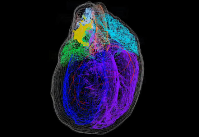 3D Map of the Heart's Neurons