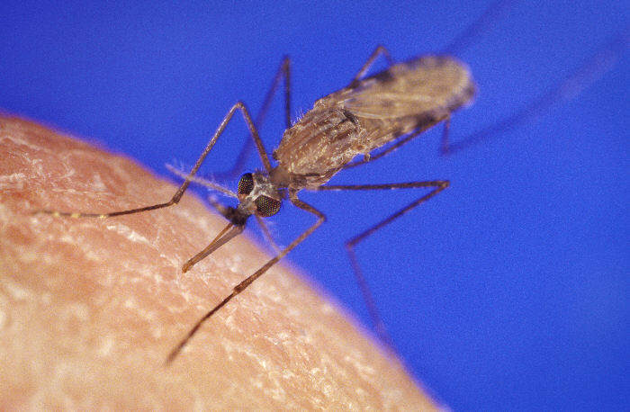 Eliminating Mosquitoes by creating all-male populations