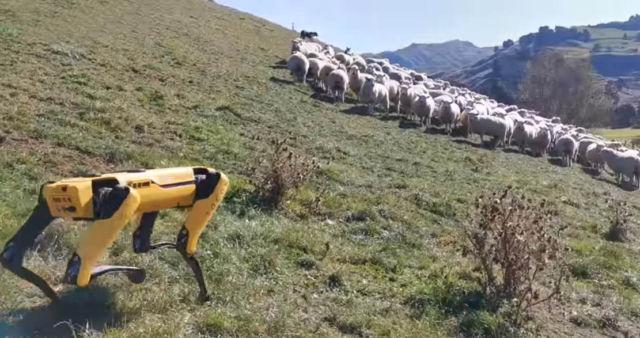 Spot Robot Dog is Herding Sheep