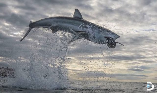 Great White Shark in the Highest ever Water Breach recorded