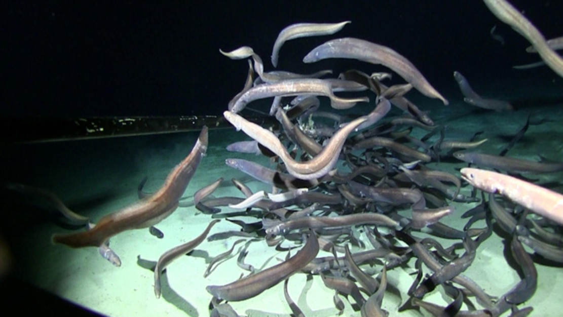 Record number of Fishes in Abyssal Deep-Sea discovered