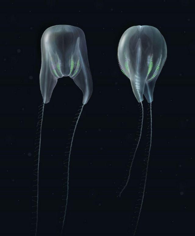 New Species of Comb Jelly near Puerto Rico