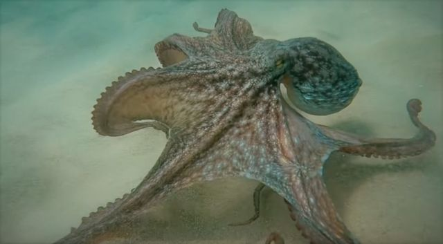 The Insane Biology of the Octopus