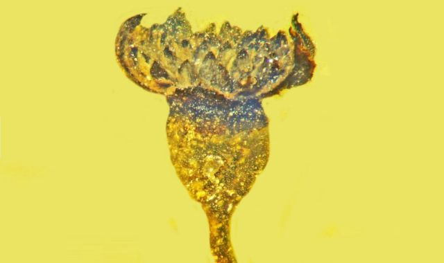 A new species of Flower in 100-million-year-old amber discovered