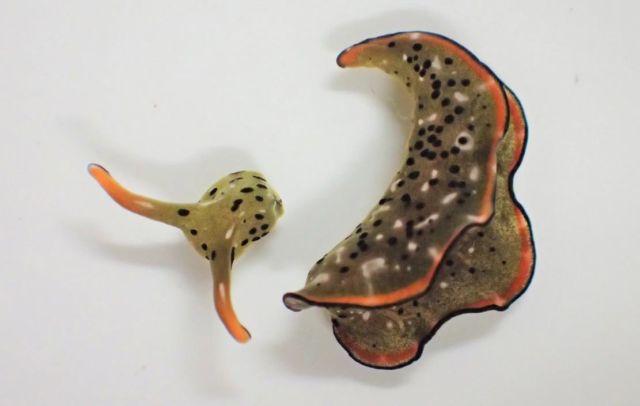 Self-Decapitating Slugs