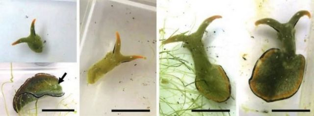 Self-Decapitating Slugs drop their Heads and regrow