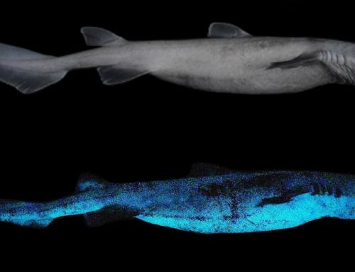 World's largest Luminous Shark Species