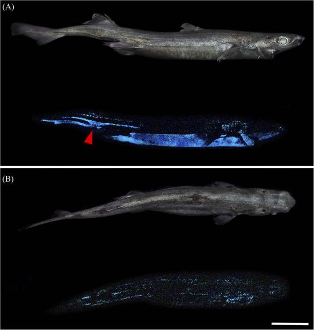 Luminous Shark Species