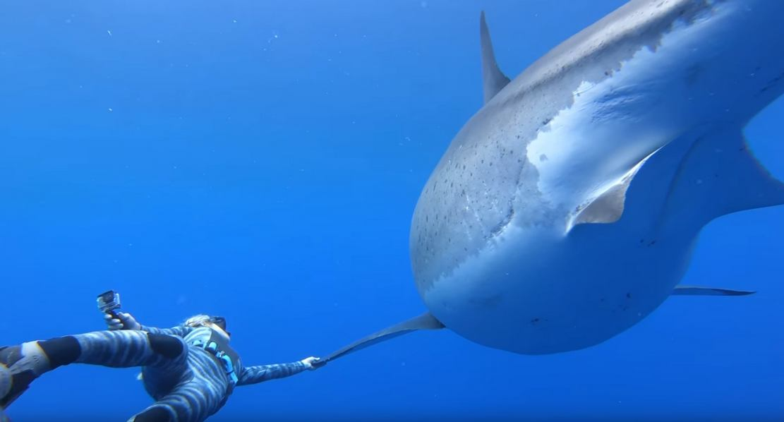 Swimming with a giant Great White Shark