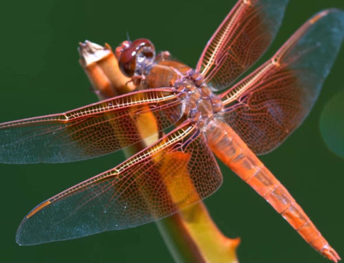 The insane Biology of the Dragonfly