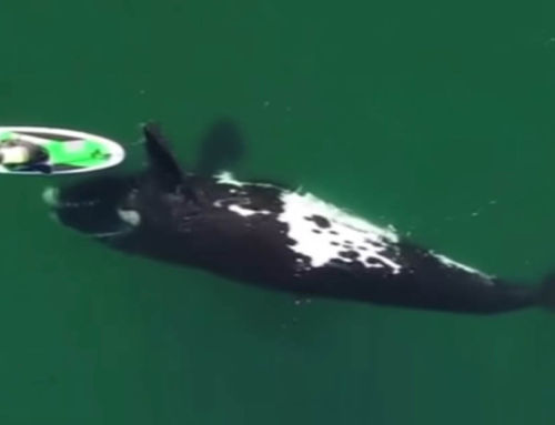 A giant whale plays with a paddle boarder